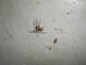 "Photo by Mark Sheperdigian Brown recluse spiders ""are pretty rare in Michigan as we are outside of their natural range,"" said Mark Sheperdigian, Rose entomologist and vice president of Technical Services."