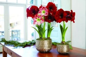 Photo courtesy of Gardener's Supply Company Amaryllis bulbs, like this Grand Amaryllis Trio,produce showy blooms that can last up to a month or more.